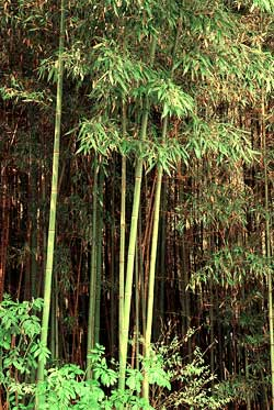 Green Fences Make Good Neighbors Unless its Bamboo - Growing