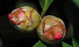 Camellia Blooms That Fail to Open