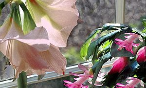 Amaryllis and Christmas Cactus: Coaxing Repeat Performances