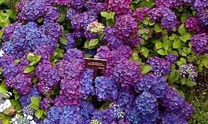 Growing French Hydrangeas