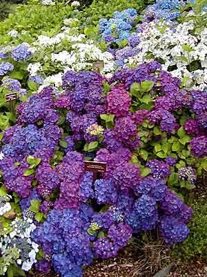 Planting Frenchhydrangeas Hydrangeas ...