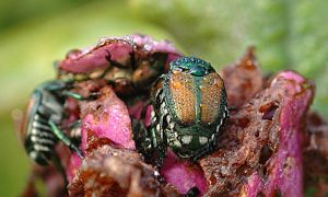 Japanese Beetles: The Whole Story