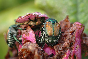 Japanese Beetles The Whole Story Growing A Greener World