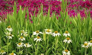 Types of Perennials