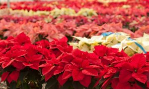 Poinsettia Facts Maybe You Didn't Know