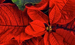 Restoring a Poinsettia to its Christmas Color