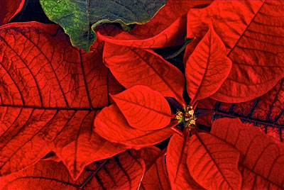 restoring a poinsettia to its christmas color growing a greener world