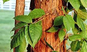Poison Ivy, Oak and Sumac; Three Plants you Never want to Grow