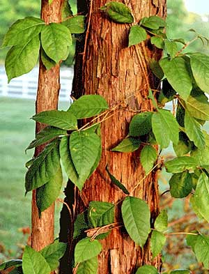 poison ivy vine on a tree