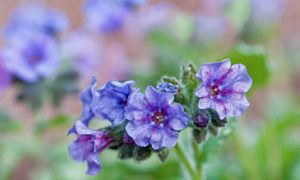 Pulmonaria, a Great Plant for Shade