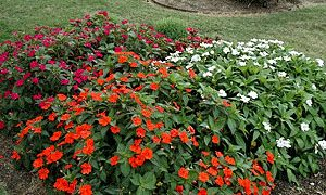 SunPatiens-Dallas Arboretum Trial Program