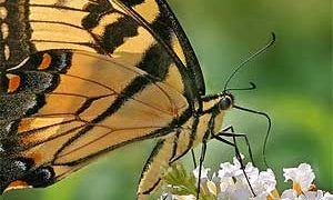 Pruning Butterfly Bushes