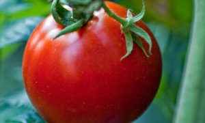 Tips For Growing Great Tomatoes; Starting Off Right