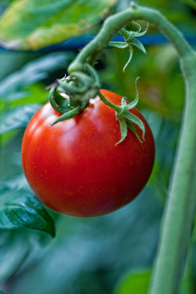 Tips For Growing Great Tomatoes