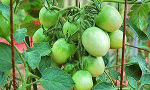 Tomato Care at Midseason