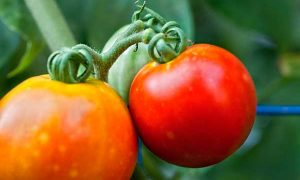 Tips for Growing the Perfect Vegetable Garden