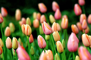 Plant spring flowering bulbs in Fall for the best results