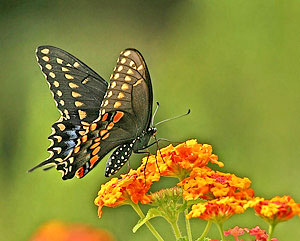 L Organic Pads >> Butterfly Habitat Essentials - Growing A Greener World®