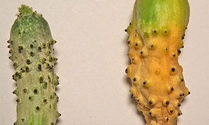 Proper pollination is key to growing cucumbers