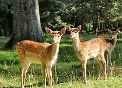 Dealing with Deer-Can they Really be Controlled?