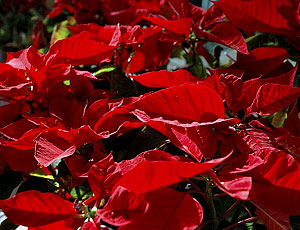 Turning Poinsettias Red Again Growing A Greener World