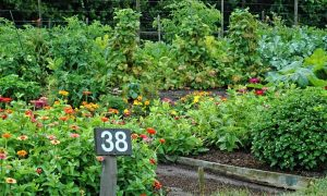 Flowers and vegetables grow together in a community garden