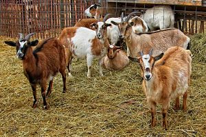 Image of goats in a pen