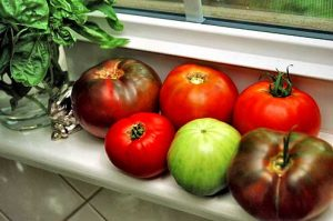 Joe grows a collection of heirloom tomato varieties