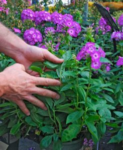 Check the underside of the leaves for signs of pests or disease