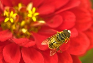 Bee on red zinnia flower