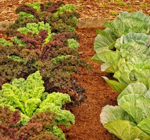 Ornamental kale and cabbage grow harmoniously in the sun