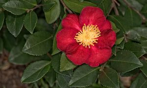 Camellia Sasanqua Red with yellow center