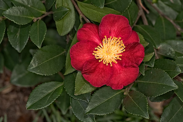 Basics of growing camellias growing a greener world for Camelia sasanqua