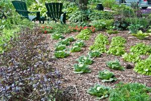 Shawna Coronado's front yard vegetable garden