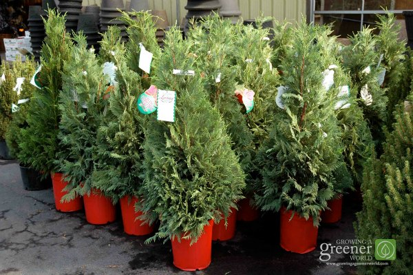 Choosing a Live Christmas Tree-GrowingAGreenerWorld.com