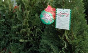 Selection and Care of Live Christmas Trees