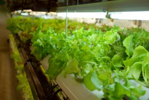 Organic lettuce grown year-round through hydroponics
