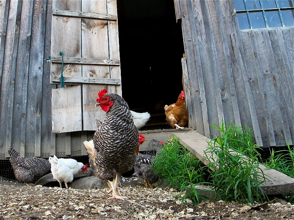 back yard chickens are a great fit for many gardens
