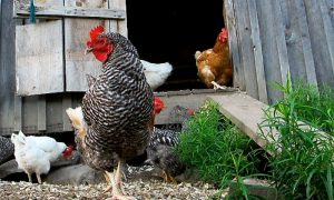 Episode 210: Backyard Chickens