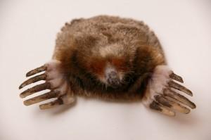 Stuffed mole
