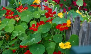 """Many edible plants are """"beautiful enough for the front yard"""", including these nasturtium in Rosalind Creasy's garden"""