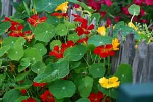 "Many edible plants are ""beautiful enough for the front yard"", including these nasturtium in Rosalind Creasy's garden"