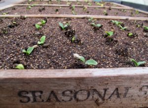 Tiny artichoke seedlings emerge from trays