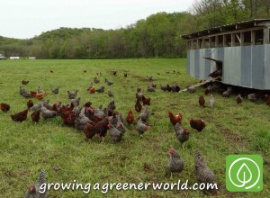 Pasture-raised chickens - now THAT'S free range!