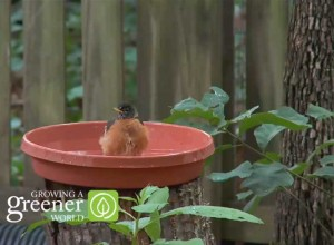 Robin enjoys birdbath in schoolyard wildlife garden