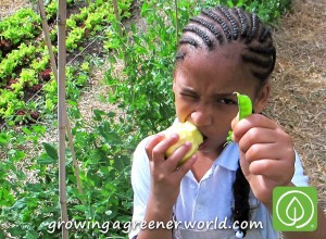 Girl with fresh snow pea and pear in Detroit community garden