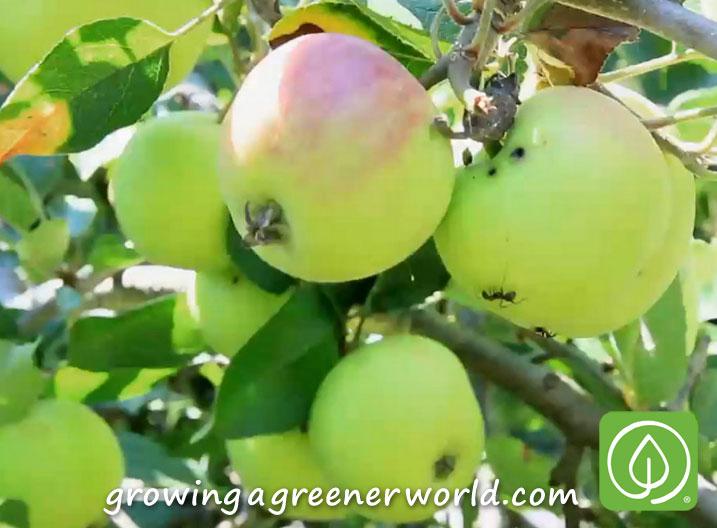 Episode 313: Backyard Orchards - Growing A Greener World®