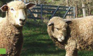 Episode 316: Heritage Livestock