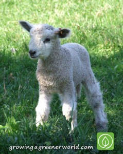 Leicester Longwool lamb - this dual-purpose heritage breed grows lustrous, long and curly wool prized by handspinners