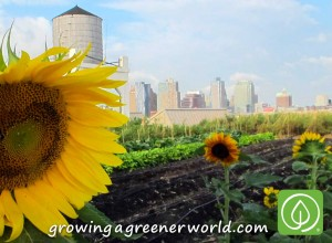 Sunflowers at Brooklyn Grange, Rooftop Farm in Queens NYC